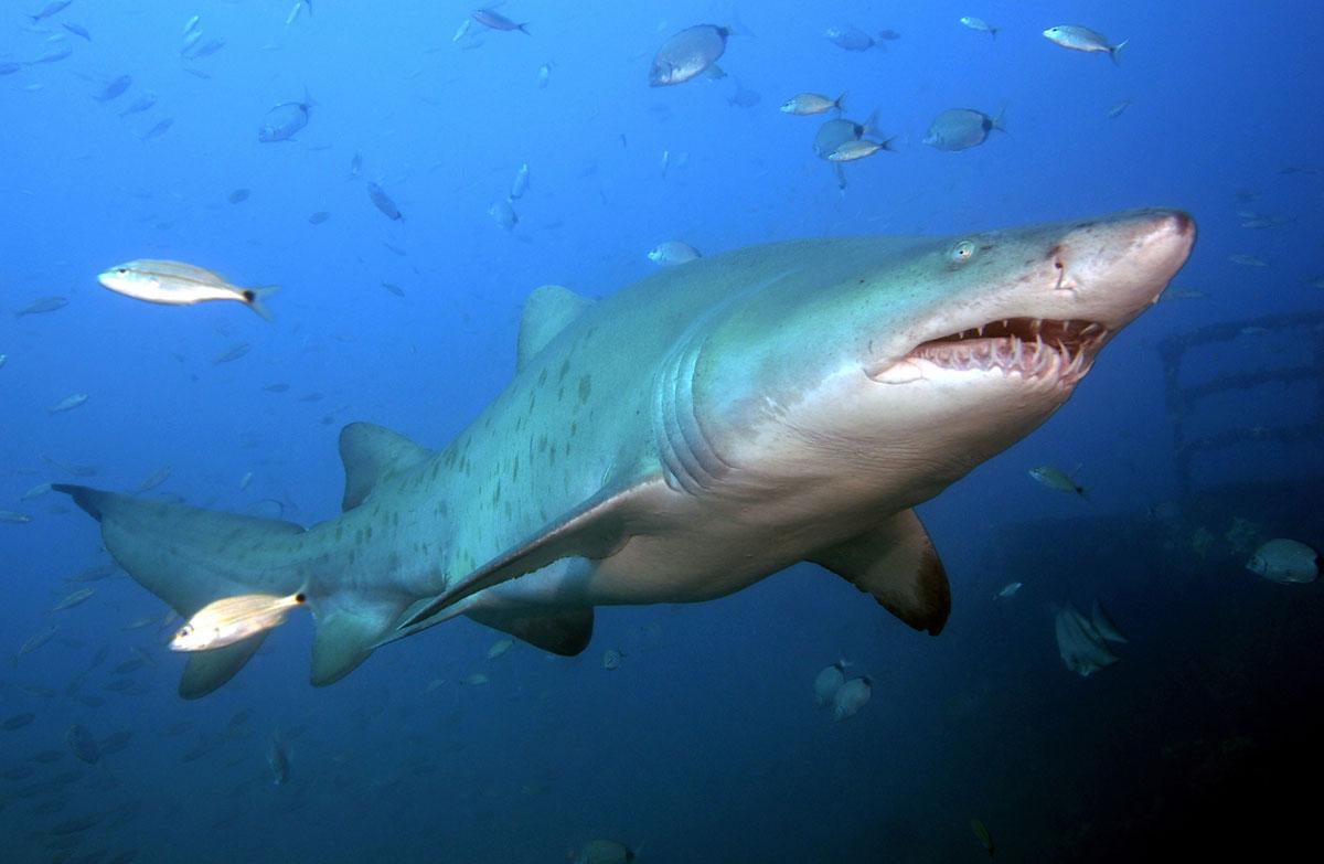 Картинки всех видов акул