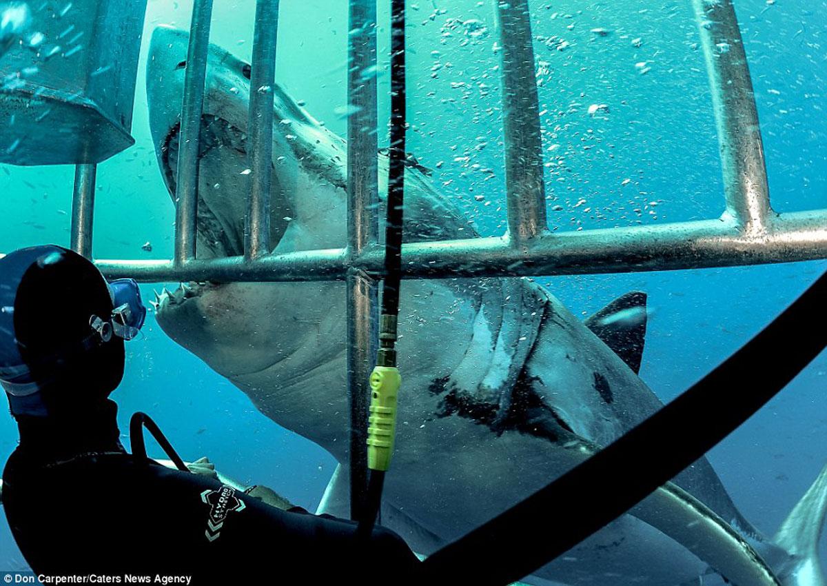 погружение с акулами в клетке фото кстати