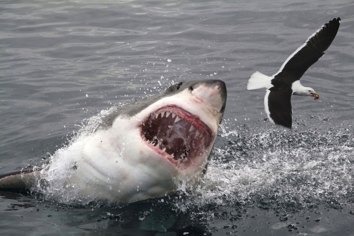 Картинка акула людоед