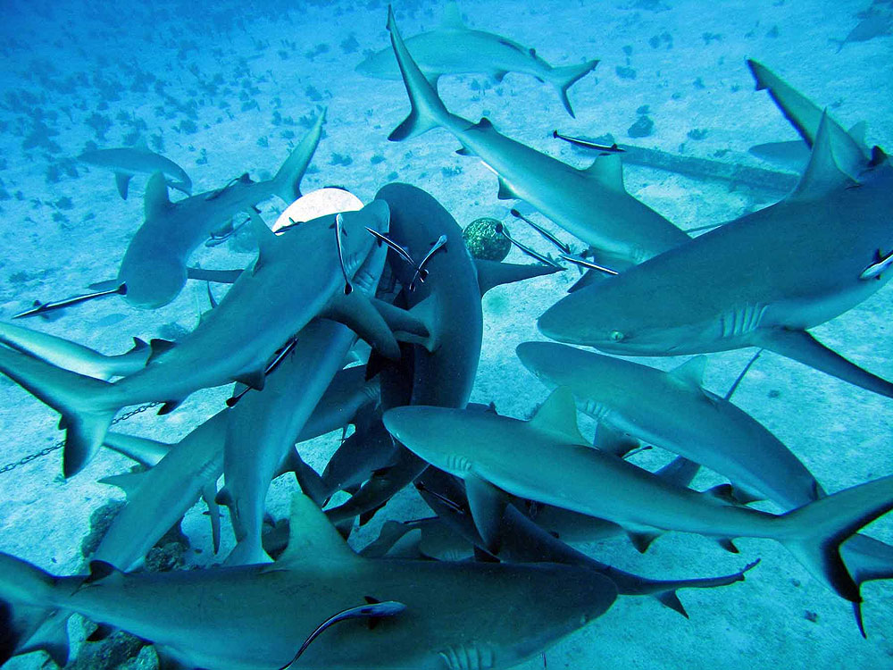 нужна качественная фото много акул достоинства простота