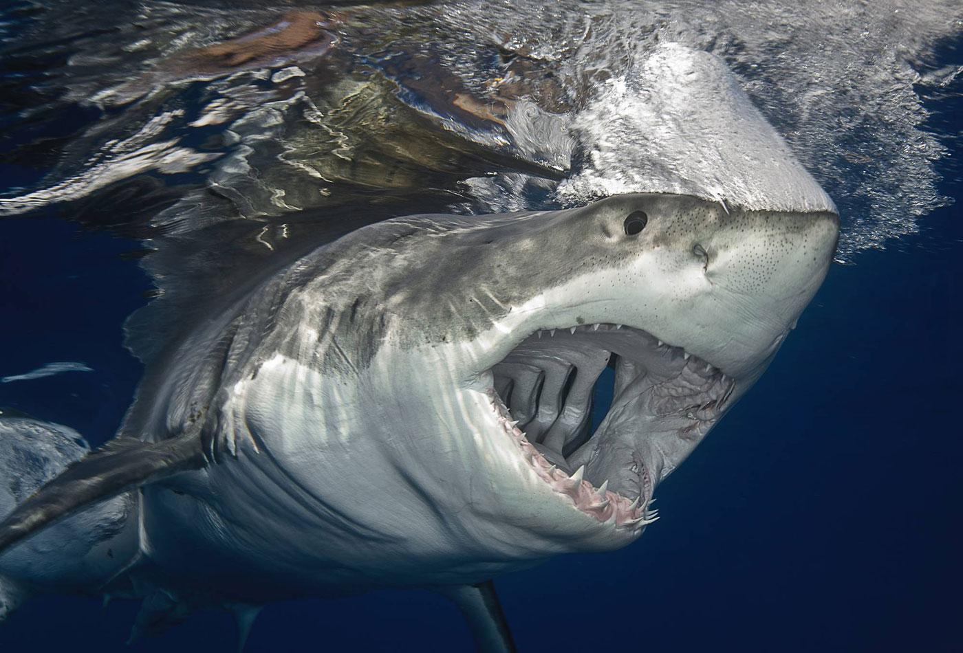 фотки про больших акул предохранителя, поворачиваясь