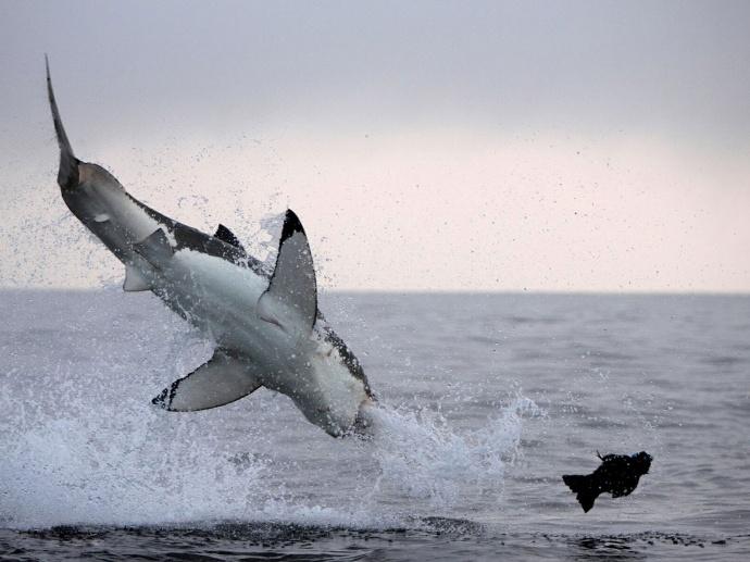 Атака белой акулы в прыжке на котика фото