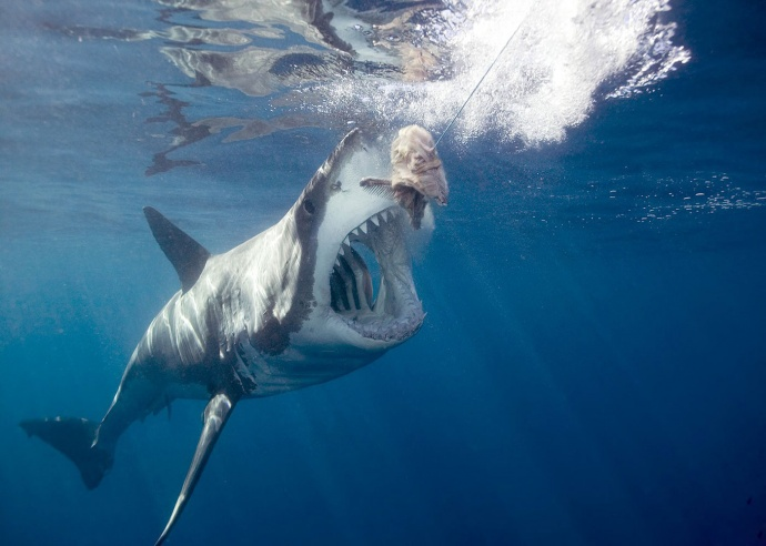 Гигантская белая акула атакует наживку фото