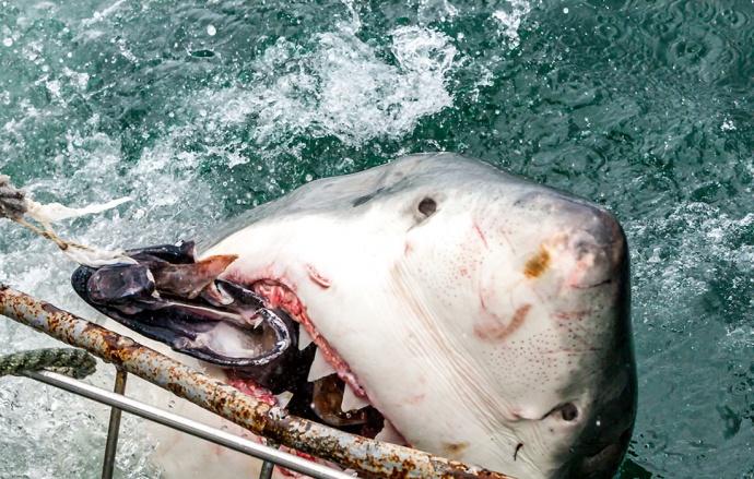 Белая акула впилась челюстью в клетку фото