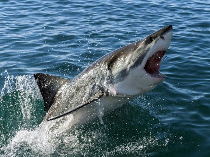 Белая акула бросается на добычу в полете фото