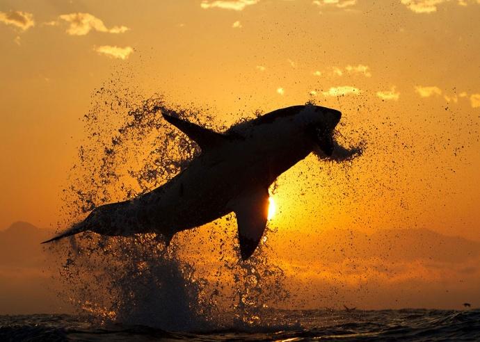 Выпрыгивающая белая акула на фоне заката фото