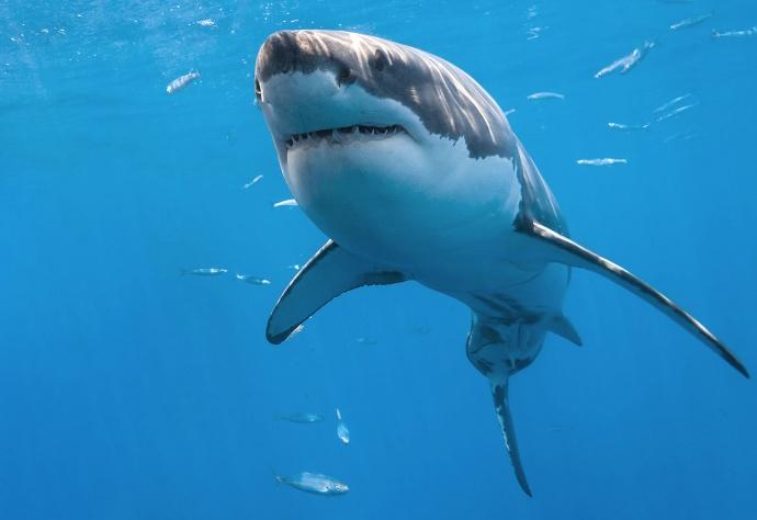 Внешний вид белой акулы фото