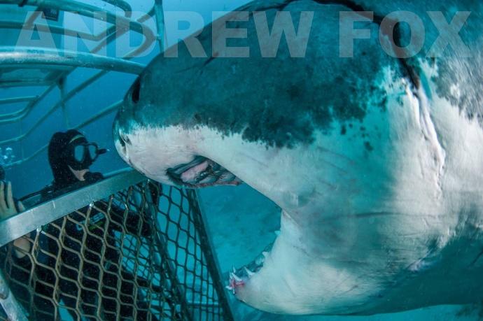 Гигантская белая акула нападает на клетку фото