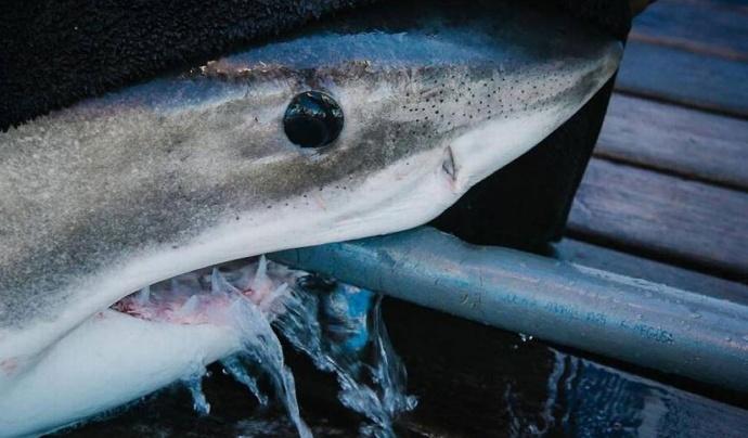 Зубы детеныша белой акулы фото