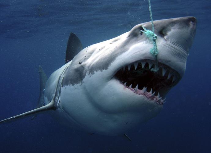 Самая огромная белая акула фото