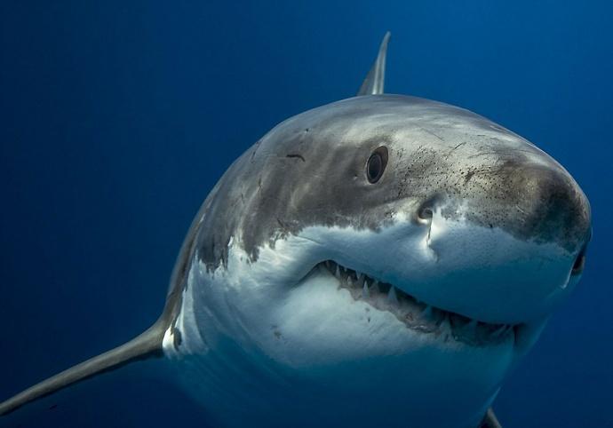 Взгляд белой акулы фото