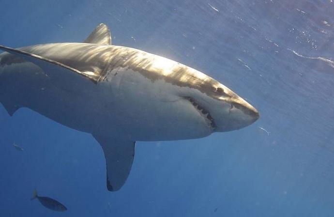 Белый живот белой акулы фото