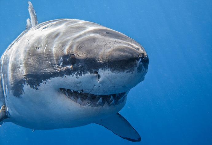 Гигантская белая акула смотрит в камеру фото