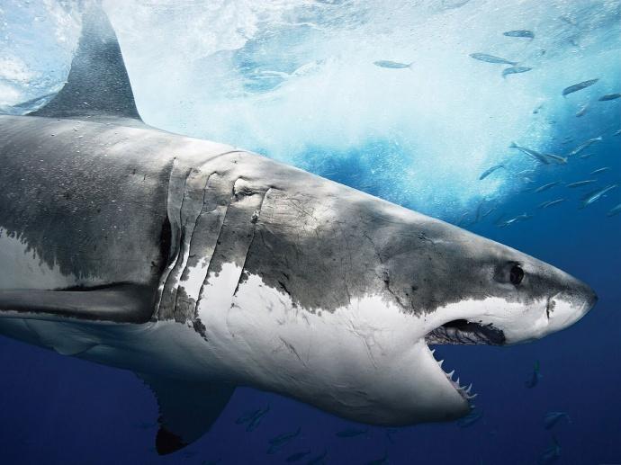 Гигантская белая акула раскрыла пасть фото