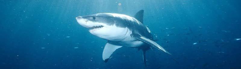 Факты о большой белой акуле