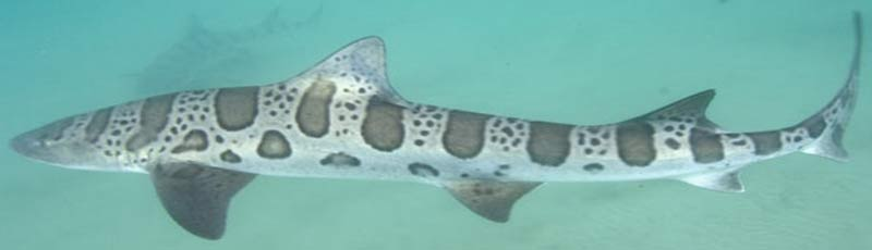 факты о разных видах акул
