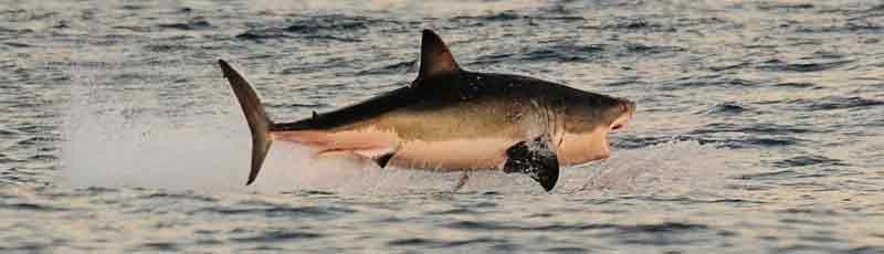 Факты о строении акулы
