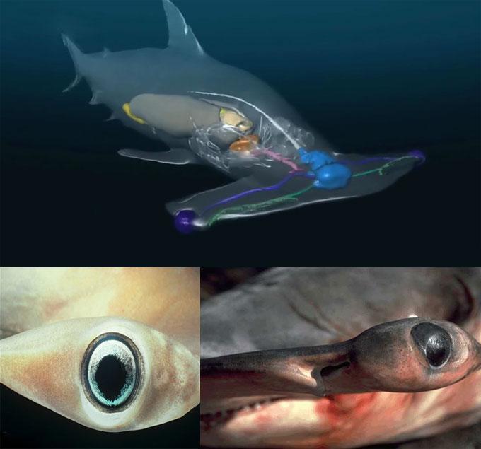 Глаза и зрение акулы-молот