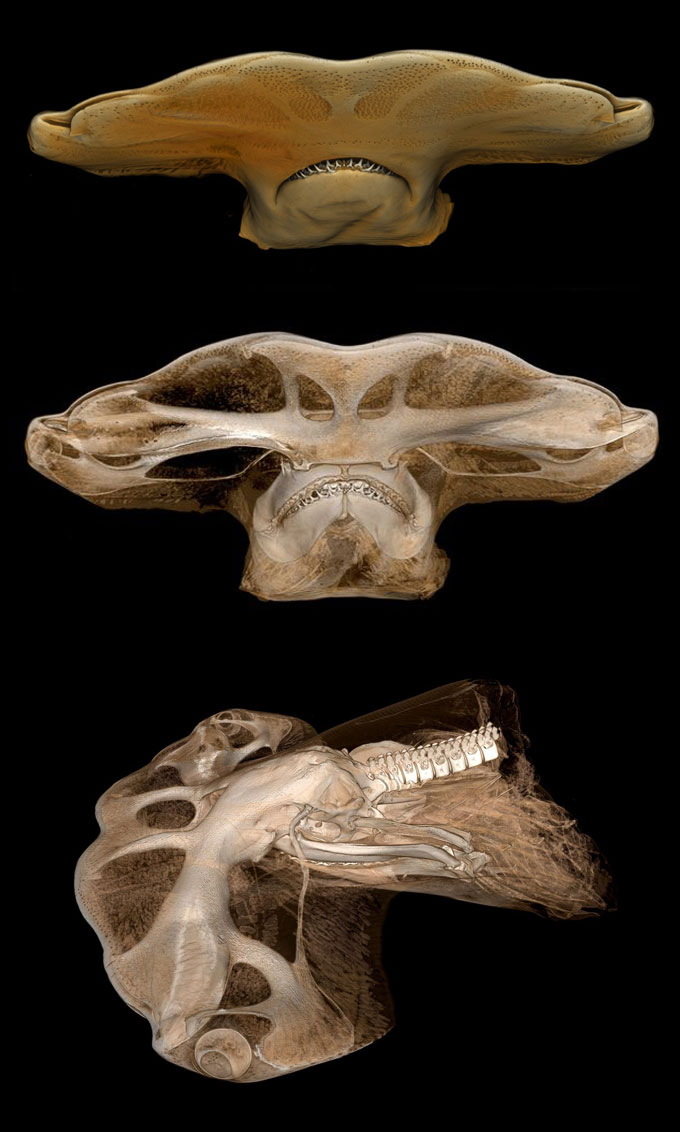 Голова акулы-молот