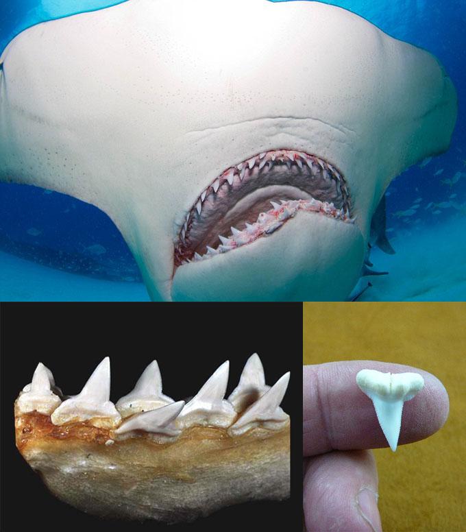 Зубы и челюсть акулы-молот