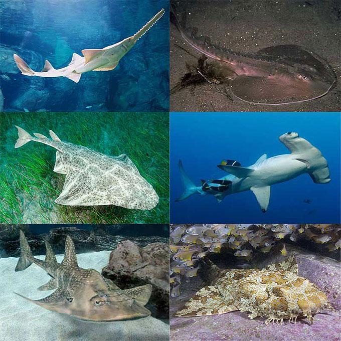 Хрящевые рыбы акулы и скаты