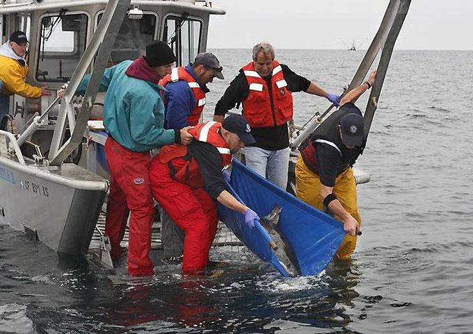 Поимка белой акулы для аквариума