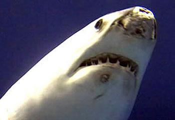 Акула бьется носом об стенку аквариума