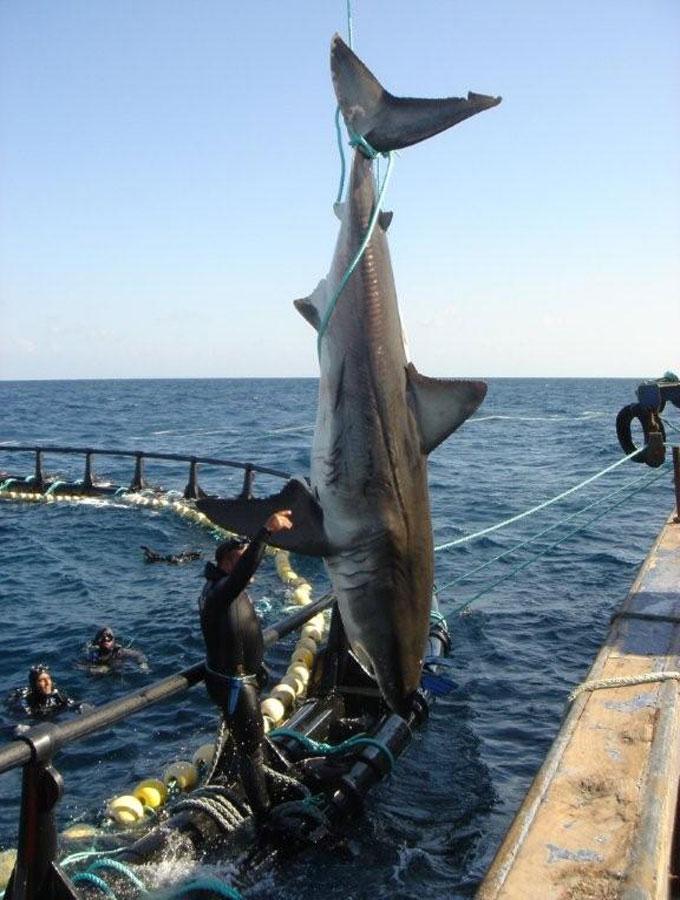 Фотография белой акулы в Средиземном море