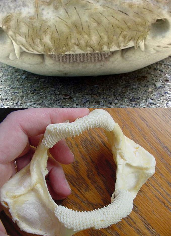 Челюсти леопардовой акулы