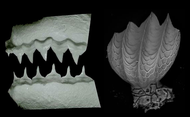 Зубы и чешуя шелковой акулы