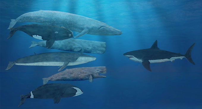 Фото: древняя гигантская акула Мегалодон (Мegalodon)