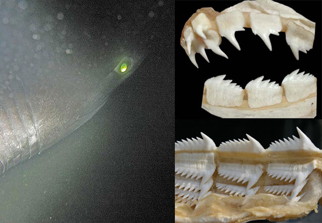 Глаза и зубы шестижаберной акулы
