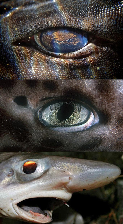 Глаза кошачьих акул