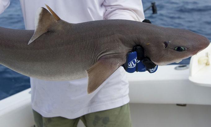Кубинская акула катран