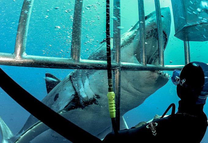 Фото: белая акула атакует клетку