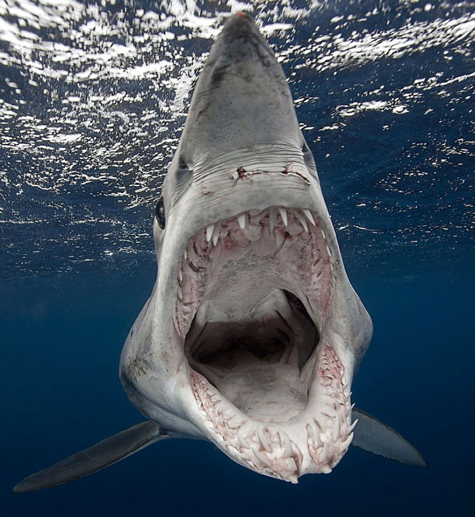 Фото: челюсть и зубы акулы-мако