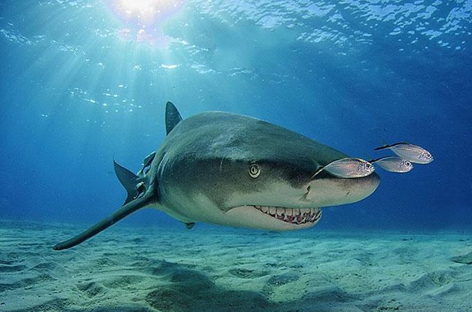 Фото: лимонная акула