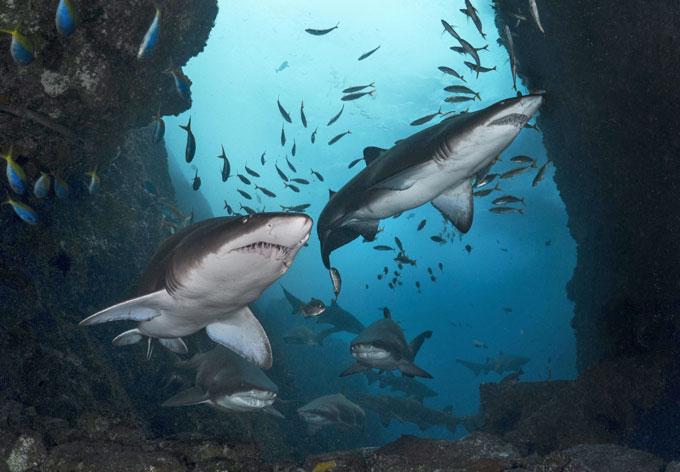 Фото: стая песчаных акул