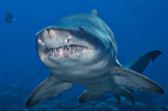 Фото: зубы песчаной тигровой акулы