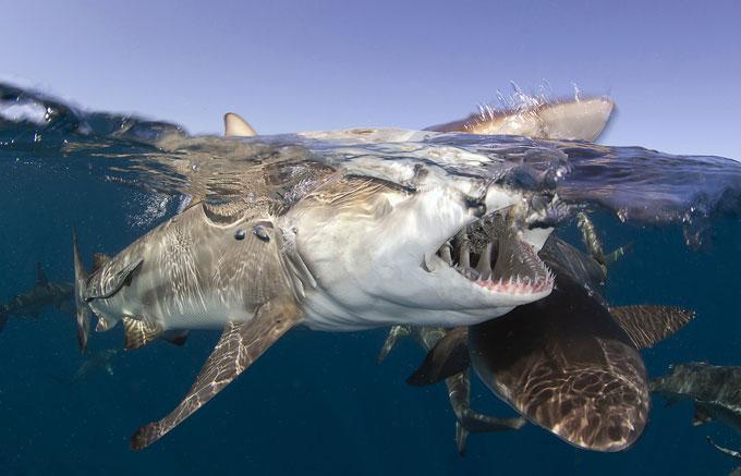 Фото: акула открыла пасть