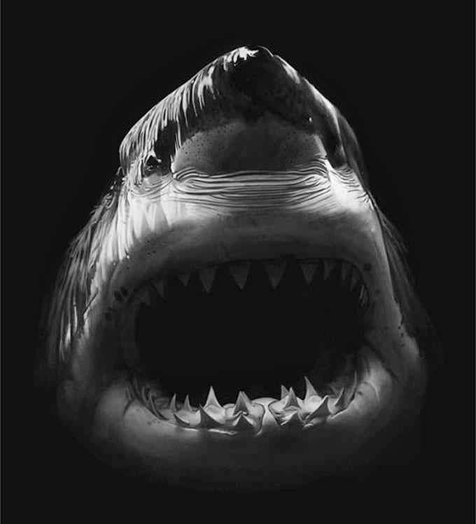 Картина белой акулы