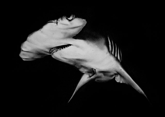 Рисунок акулы-молот угольным карандашом