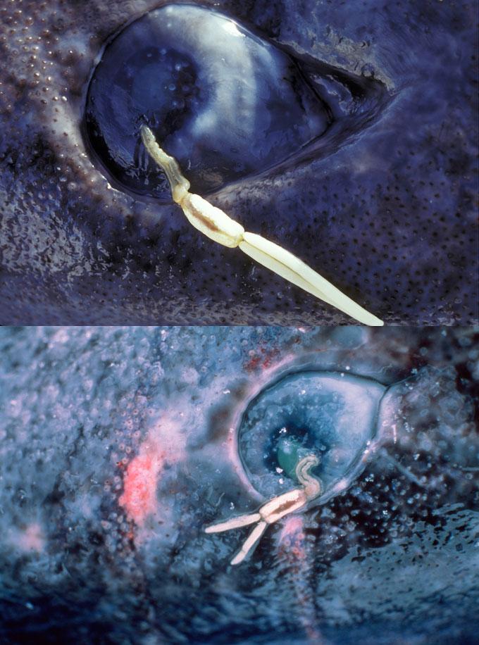 Светящиеся рачки-паразиты на глазах гренландской акулы