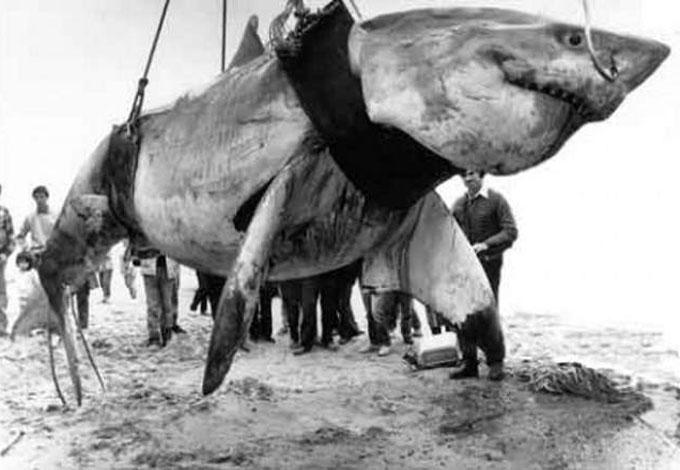 Рыбаки поймали огромную белую акулу