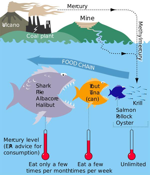 Вред мяса акулы - ртуть и аммиак