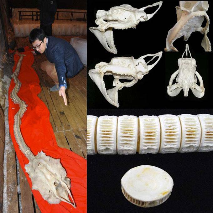 Скелет древней плащеносной акулы