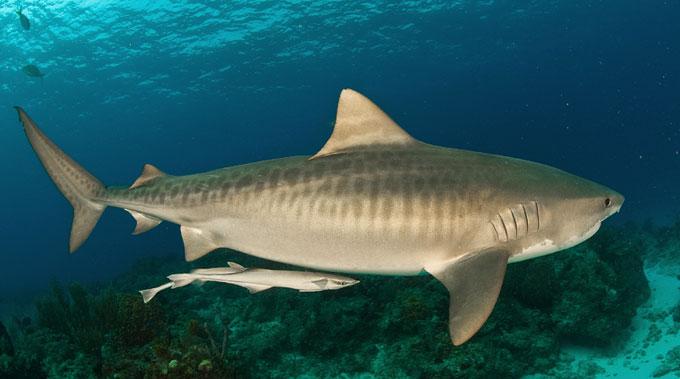 Опасная тигровая акула