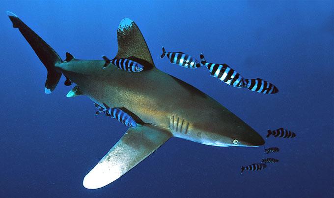 Опасная длиннокрылая акула