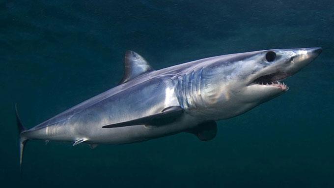 Опасная акула-мако