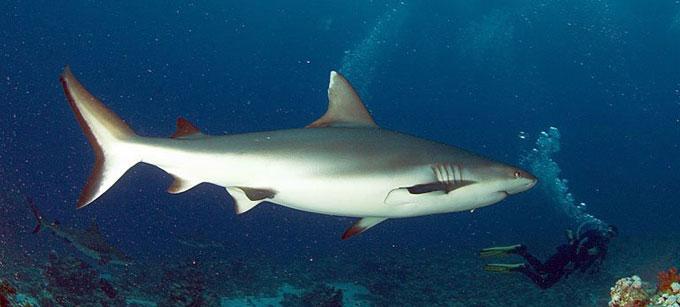 Опасная серая рифовая акула